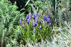 Λουλούδια armeniacum Muscari Στοκ Εικόνα