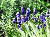 Λουλούδια armeniacum Muscari Στοκ φωτογραφία με δικαίωμα ελεύθερης χρήσης