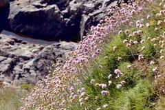 Λουλούδια Armeria στη γαλλική Βρετάνη Στοκ εικόνες με δικαίωμα ελεύθερης χρήσης