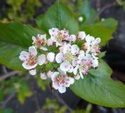 Λουλούδια Aronia Δέσμη των λουλουδιών chokeberry Στοκ φωτογραφίες με δικαίωμα ελεύθερης χρήσης
