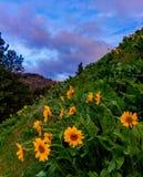 Λουλούδια Balsamroot, πολιτεία της Washington Στοκ εικόνα με δικαίωμα ελεύθερης χρήσης
