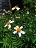 Λουλούδια Beggarticks Στοκ φωτογραφία με δικαίωμα ελεύθερης χρήσης