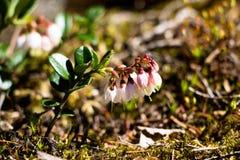 Λουλούδια berryberry στοκ εικόνες με δικαίωμα ελεύθερης χρήσης