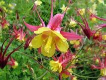 Λουλούδια Biedermeier Columbine Aquilegia Στοκ Φωτογραφία