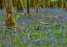 Λουλούδια Bluebell Στοκ Εικόνες