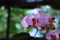 Λουλούδια Blume Phalaenopsis Στοκ φωτογραφία με δικαίωμα ελεύθερης χρήσης
