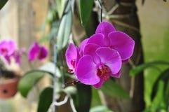 Λουλούδια Blume Phalaenopsis Στοκ εικόνα με δικαίωμα ελεύθερης χρήσης
