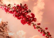 Λουλούδια Bougainvillea με το κόκκινο εκλεκτής ποιότητας ύφος Στοκ Εικόνες