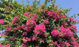 Λουλούδια Bougainvillea σε γεν Phu, Βιετνάμ Στοκ Φωτογραφία