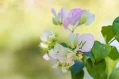 Λουλούδια Bougainvillea Στοκ Φωτογραφίες