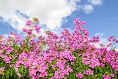 Λουλούδια Bougainvillea Στοκ Φωτογραφία