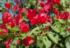 Λουλούδια Bougainvillea Στοκ εικόνες με δικαίωμα ελεύθερης χρήσης