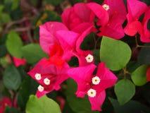 Λουλούδια Bougainvillea στοκ εικόνα με δικαίωμα ελεύθερης χρήσης