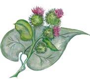 Λουλούδια Burdock με το πράσινο φύλλο υψηλό watercolor ποιοτικής ανίχνευσης ζωγραφικής διορθώσεων πλίθας photoshop πολύ Στοκ εικόνα με δικαίωμα ελεύθερης χρήσης