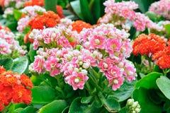 Λουλούδια Calandiva Kalanchoe Στοκ εικόνες με δικαίωμα ελεύθερης χρήσης
