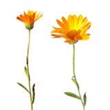 Λουλούδια Calendula που απομονώνεται στο λευκό Στοκ εικόνα με δικαίωμα ελεύθερης χρήσης