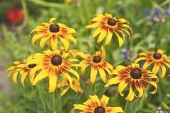 Λουλούδια Calendula Στοκ φωτογραφία με δικαίωμα ελεύθερης χρήσης