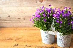Λουλούδια Campanula με την ξύλινη διακόσμηση υποβάθρου Στοκ Φωτογραφία