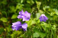 Λουλούδια Campanula Στοκ φωτογραφία με δικαίωμα ελεύθερης χρήσης