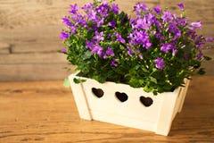 Λουλούδια Campanula flowerpot Στοκ φωτογραφία με δικαίωμα ελεύθερης χρήσης