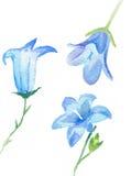 Λουλούδια campanula Watercolor που απομονώνονται Στοκ εικόνες με δικαίωμα ελεύθερης χρήσης