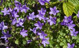 Λουλούδια Campanulaceae Στοκ εικόνες με δικαίωμα ελεύθερης χρήσης