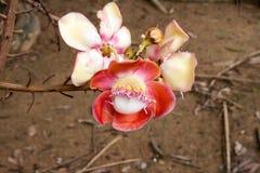 Λουλούδια cannonball του δέντρου Στοκ Εικόνες