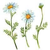 Λουλούδια Chamomile καθορισμένα Στοκ Εικόνα