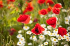 Λουλούδια Chamomile και παπαρουνών σε έναν τομέα Στοκ Φωτογραφίες