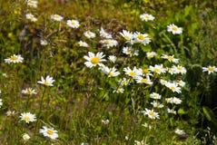 Λουλούδια Chamomile στον κήπο το καλοκαίρι Στοκ φωτογραφίες με δικαίωμα ελεύθερης χρήσης