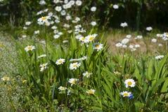 Λουλούδια Chamomile στον κήπο το καλοκαίρι Στοκ Φωτογραφίες