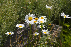 Λουλούδια Chamomile στον κήπο το καλοκαίρι Στοκ φωτογραφία με δικαίωμα ελεύθερης χρήσης