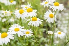 Λουλούδια Chamomile Στοκ εικόνα με δικαίωμα ελεύθερης χρήσης