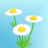 Λουλούδια Chamomile Στοκ Φωτογραφία