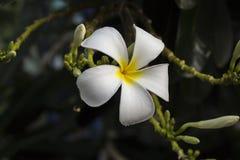 Λουλούδια Champa ή Plumeria Στοκ φωτογραφίες με δικαίωμα ελεύθερης χρήσης