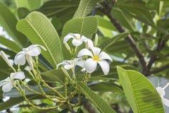 Λουλούδια Champa ή Plumeria Στοκ Εικόνες