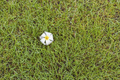 Λουλούδια Champa ή Plumeria Στοκ φωτογραφία με δικαίωμα ελεύθερης χρήσης