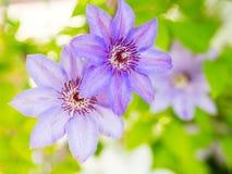 Λουλούδια Clematis στον κήπο Στοκ φωτογραφίες με δικαίωμα ελεύθερης χρήσης