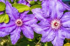 Λουλούδια Clematis Στοκ Φωτογραφία