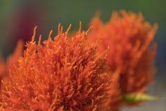 Λουλούδια Cockscomb στον κήπο Στοκ Εικόνα