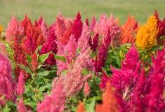 Λουλούδια Cockscomb στον κήπο Στοκ φωτογραφία με δικαίωμα ελεύθερης χρήσης