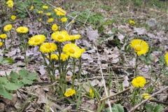 Λουλούδια Coltsfoot ` s στην περιτύλιξη της φύσης Στοκ Εικόνες