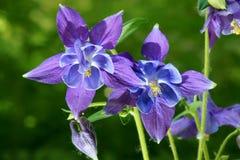 Λουλούδια Columbine Στοκ εικόνες με δικαίωμα ελεύθερης χρήσης