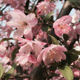 Λουλούδια Crabapple Στοκ Φωτογραφία