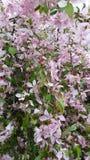 Λουλούδια Crabapple Στοκ Εικόνες