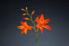 Λουλούδια Crocosmia (Montbretia) στο γκρίζο υπόβαθρο Στοκ εικόνα με δικαίωμα ελεύθερης χρήσης