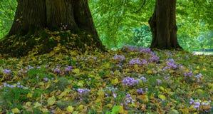 Λουλούδια Cyclamen που αυξάνονται μεταξύ των δέντρων Στοκ Εικόνες