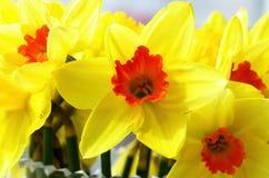 Λουλούδια Daffodil Στοκ φωτογραφία με δικαίωμα ελεύθερης χρήσης