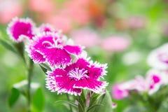 Λουλούδια Dianthus στο πάρκο, ζωηρόχρωμα λουλούδια στον κήπο Στοκ Φωτογραφία
