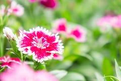 Λουλούδια Dianthus στο πάρκο, ζωηρόχρωμα λουλούδια στον κήπο Στοκ φωτογραφίες με δικαίωμα ελεύθερης χρήσης